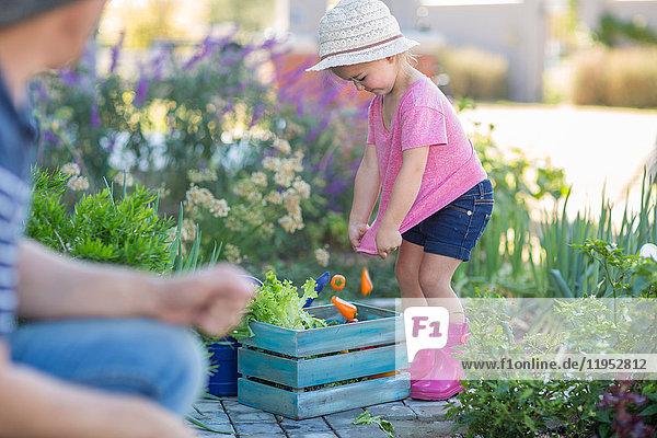 Vater und Tochter im Garten  Tochter legt geerntetes Gemüse in Holzkiste