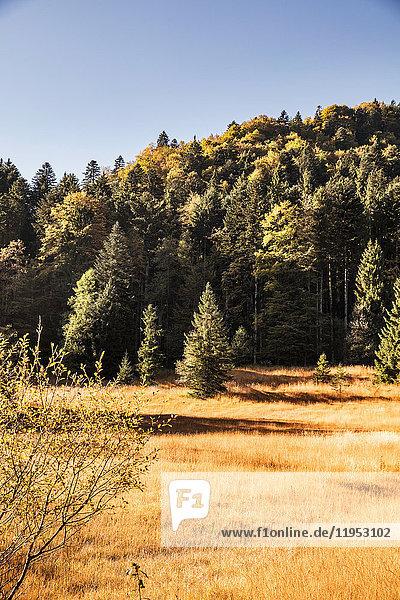 Goldene Feld- und Waldlandschaft  Bayern  Deutschland