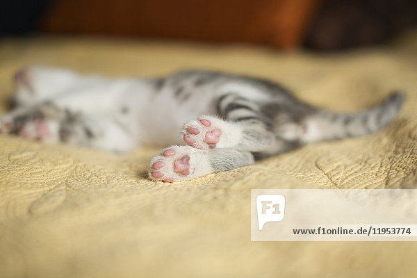 A small grey and white kitten lying on a bed.