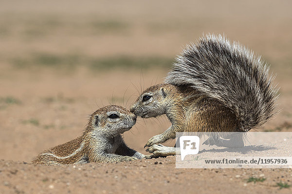 Ground squirrels (Xerus inauris)  Kgalagadi Transfrontier Park  Northern Cape  South Africa  Africa