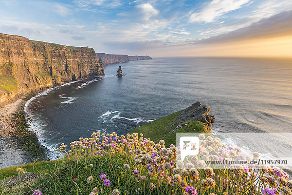 Cliffs of Moher at sunset  with flowers in the foreground  Liscannor  County Clare  Munster province  Republic of Ireland  Europe