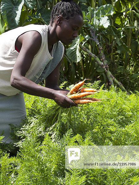 A woman picking carrots  Ethiopia  Africa