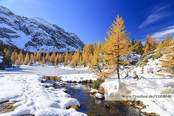 Frozen Lake Mufule framed by larches and snow in autumn  Malenco Valley  Province of Sondrio  Valtellina  Lombardy  Italy  Europe