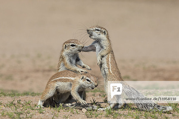 Young ground squirrels (Xerus inauris)  Kgalagadi Transfrontier Park  Northern Cape  South Africa  Africa