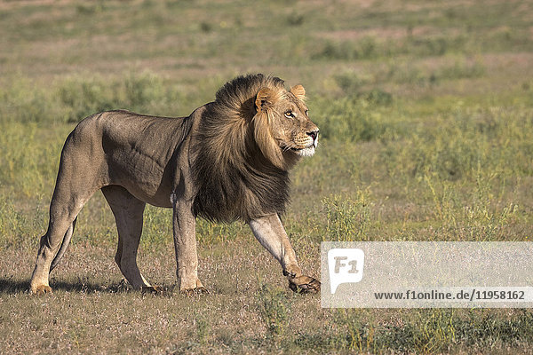 Lion (Panthera leo) male  Kgalagadi Transfrontier Park  Northern Cape  South Africa  Africa