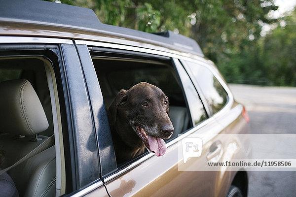 Labrador Retriever looking through car window
