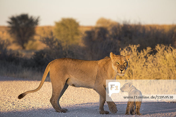 Lion (Panthera leo) with cub  Kgalagadi Transfrontier Park  Northern Cape  South Africa  Africa