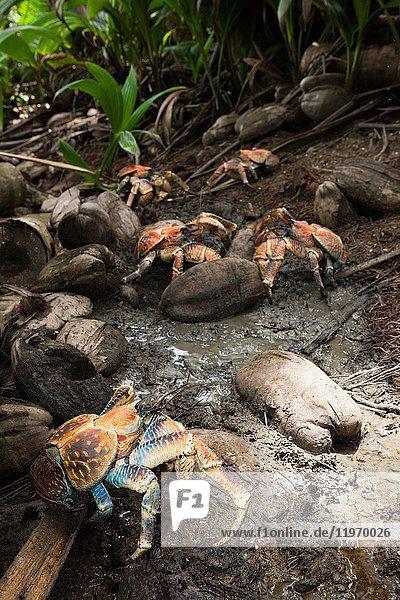 Group of Robber Crab  Birgus latro  Christmas Island  Australia.