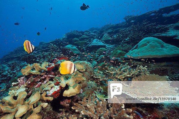 Kleins Butterflyfish over Coral Reef  Chaetodon kleinii  Christmas Island  Australia.