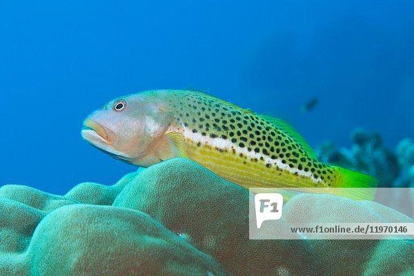 Halfspotted Hawkfish  Paracirrhites hemistictus  Christmas Island  Australia.