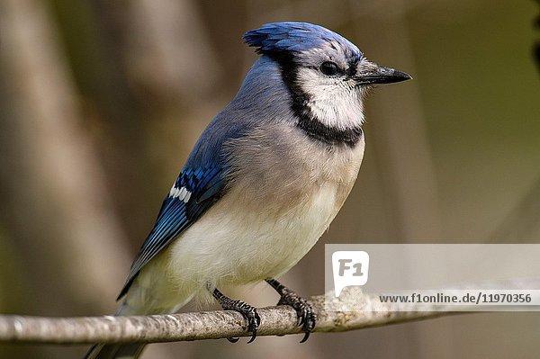Blue jay (Cyanocitta cristata)  Greater Sudbury  Ontario  Canada.