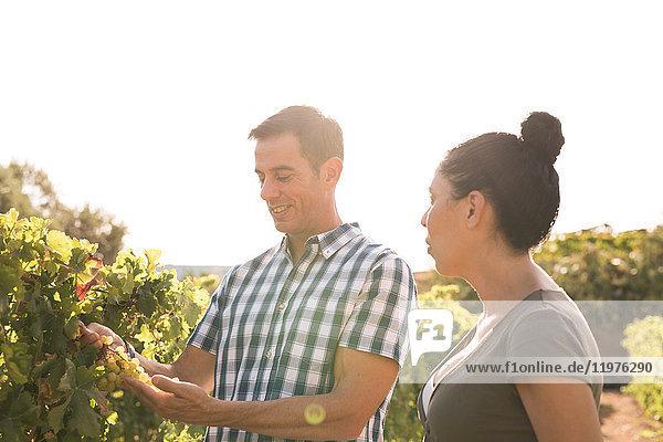 Männliche und weibliche Winzer kontrollieren Trauben im Weinberg  Las Palmas  Gran Canaria  Spanien