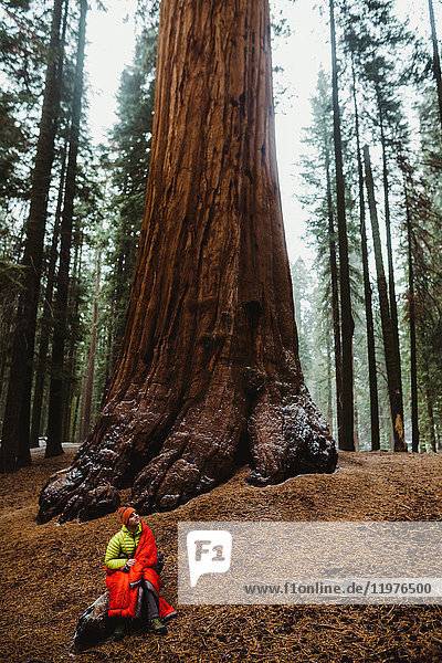 Young male hiker wrapped in red sleeping bag looking up at sequoia  Sequoia National Park  California  USA