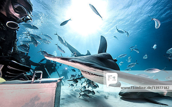 Unterwasseraufnahme von Tauchern  die den grossen Hammerhai und den Ammenhai füttern  Bahamas