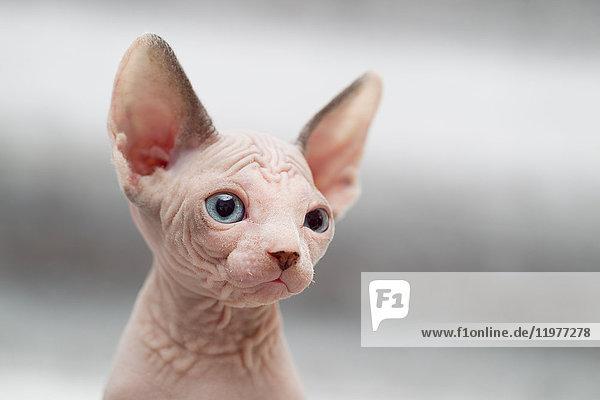 Tierporträt einer Sphynx-Katze  die wegschaut Tierporträt einer Sphynx-Katze, die wegschaut