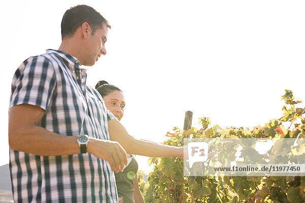 Männliche und weibliche Winzer  die Trauben im Weinberg pflegen  Las Palmas  Gran Canaria  Spanien