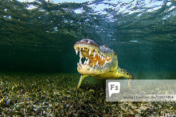 Underwater portrait of american saltwater crocodile on seabed  Xcalak  Quintana Roo  Mexico
