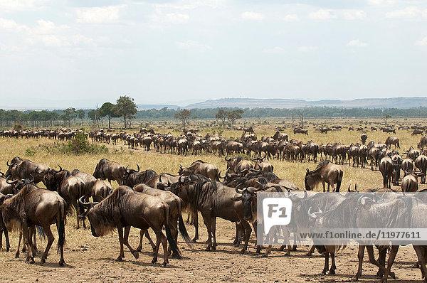 abhängen,Afrika,Ansicht,Antilope,Anzahl,Artiodactyla