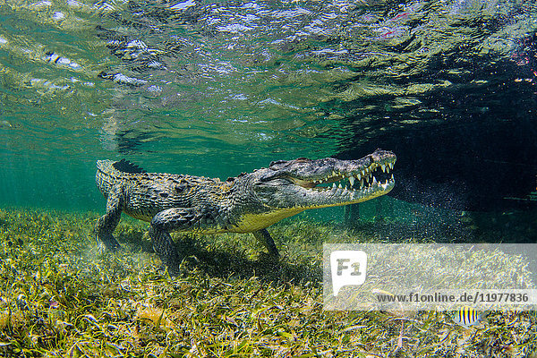 Underwater view of american saltwater crocodile on seabed  Xcalak  Quintana Roo  Mexico