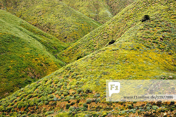 Green hills with yellow californian poppies (Eschscholzia californica)  North Elsinore  California  USA
