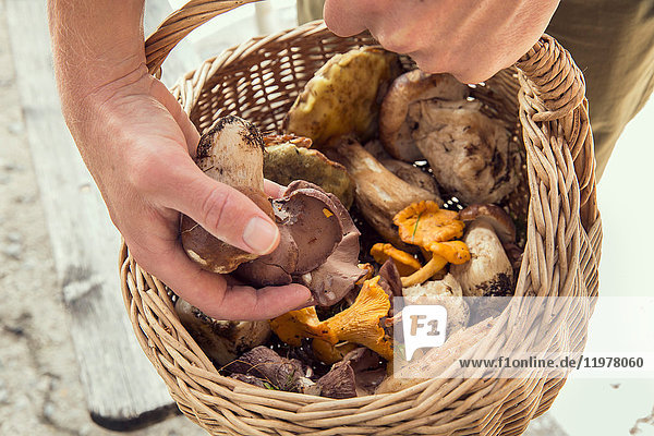 Cropped view of man holding basket of mushrooms  Tirol  Steiermark  Austria  Europe