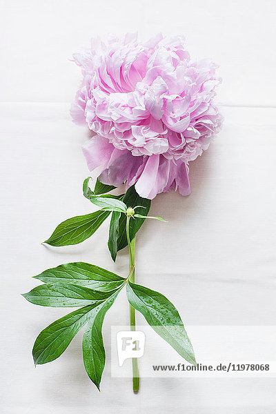Pink peony on white linen tablecloth