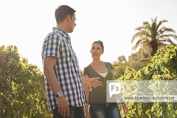 Männliche und weibliche Winzer diskutieren im Weinberg  Las Palmas  Gran Canaria  Spanien