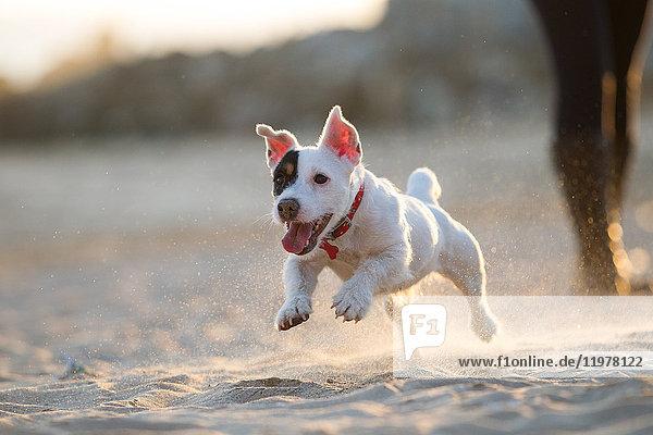 Jack Russell läuft am Strand Jack Russell läuft am Strand