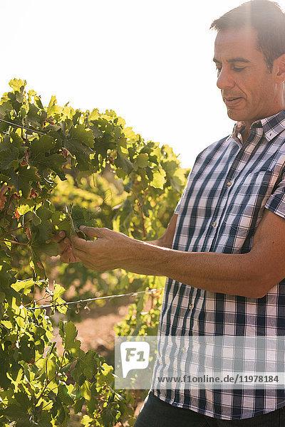 Männlicher Winzer  der Trauben im Weinberg pflegt  Las Palmas  Gran Canaria  Spanien