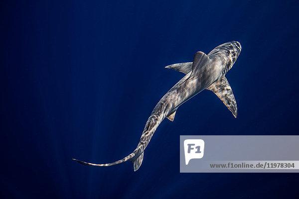 Underwater overhead view of sandbar shark swimming in blue sea  Jupiter  Florida  USA
