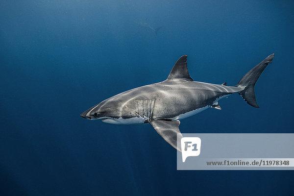 Unterwasseraufnahme eines weissen Hais  der im blauen Meer schwimmt  Campeche  Mexiko