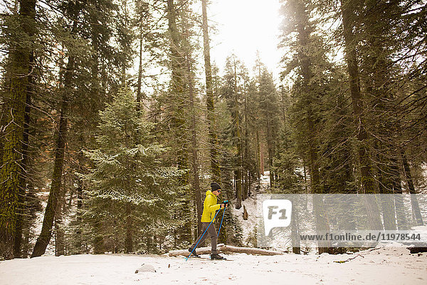 Young man nordic skiing in forest snow  Sequoia National Park  California  USA