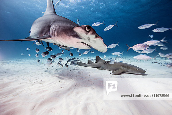 Underwater view of great hammerhead shark  nurse shark and baitfish  Bahamas