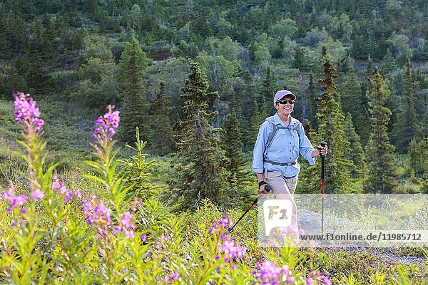 Woman hiking by batch of fireweed on South Fork Eagle River trail near Anchorage  Alaska.