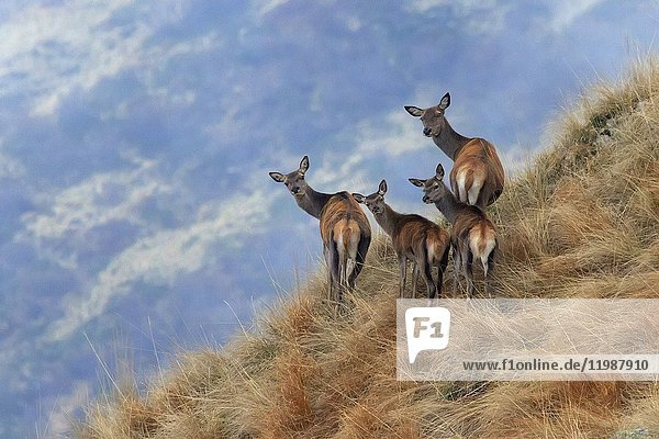 Red Deer (Cervus elaphus) family looking at the photographer  Valle Albano  Como  Lombardy  Italy.