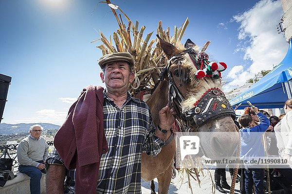 Mule driver loading up in his donkey cane sugar in the celebration of 1st Day of Honey Cane in Frigiliana. Frigiliana  Andalusia  Spain  Europe.