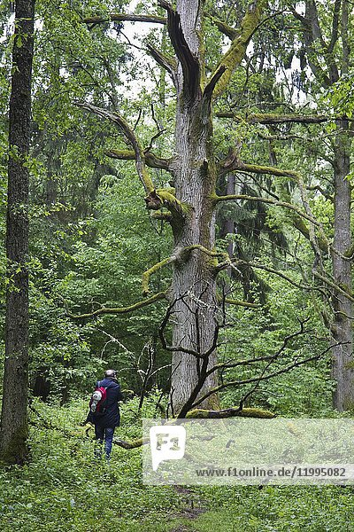 Some examples of ancient oaks from the Royal Oak Route of Bialowieza National Park. Bialowieza  Podlasie  Poland  Europe.