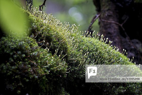 Flowering of moss. Bialowieza National Park. Bialowieza  Podlasie  Poland  Europe.