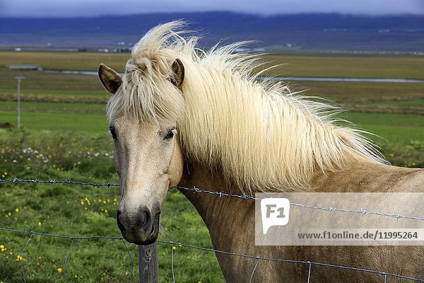 Horse in the Iceland landscape  Iceland  Europe.
