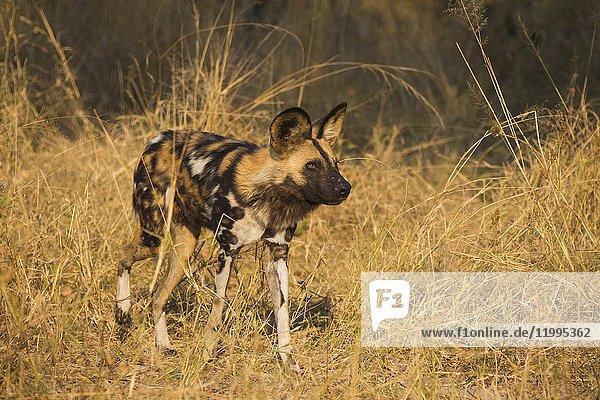 Wild dog (Lycaon pictus). Okavango Delta  Botswana  Africa.