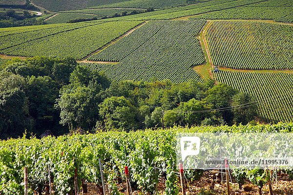 Vineyards of Chardonnay  Chablis  Yonne  Bourgogne  Burgundy  France  Europe