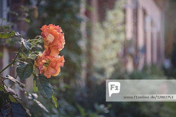 Rose im Klostergarten, Uetersen, Kreis Pinneberg, Schleswig-Holstein, Deutschland, Europa