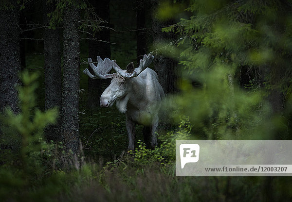 Weißer Elch steht inmitten von Bäumen im Wald