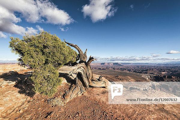 Tree in desert  Moab  Utah  United States
