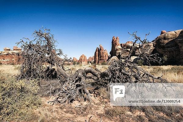 Barren tree in desert  Moab  Utah  United States