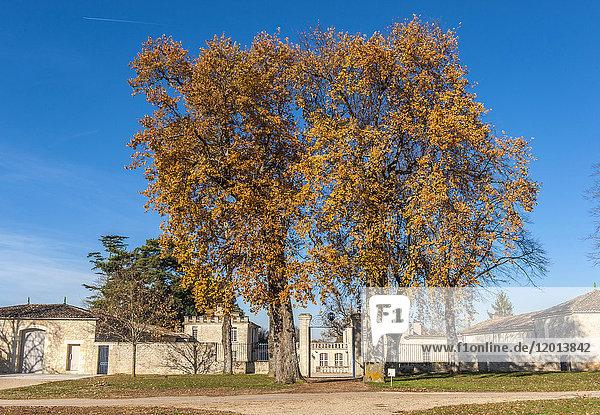 France  Gironde  St Emilionnais  two oaks in front of the Chateau de Ferrand