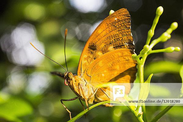 Nahaufnahme des gelben Schmetterlings auf der Pflanze