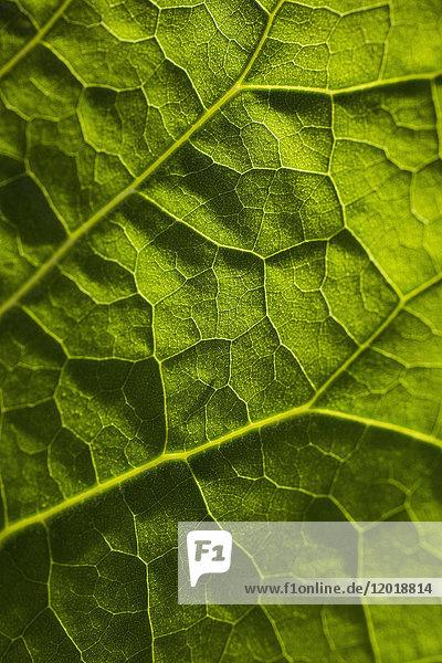 Vollbild-Aufnahme eines frischen grünen Blattes