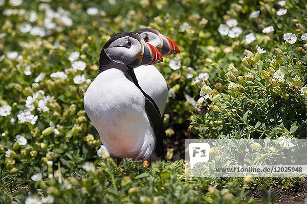 Puffins in Great Skellig or also called Skellig Michael. Skellig Islands  County Kerry  Ireland  Europe.