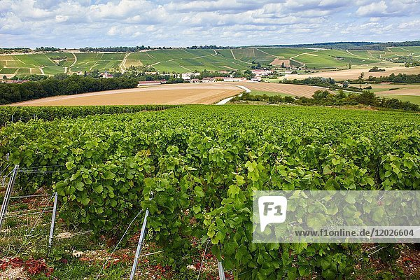 Le Vignoble  Vineyards of champagne  Urville  Aube  Champagne-Ardenne  France  Europe
